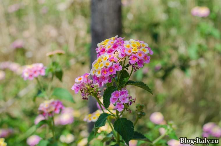 Цветы растущие в Италии