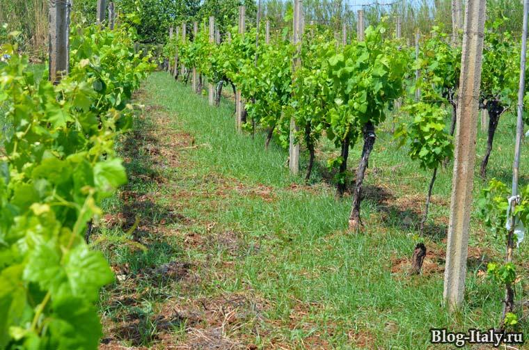 Виноградник в мае