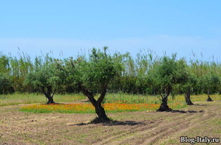 Оливковые деревья