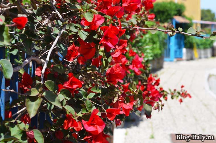 Бугенвиллия садовая