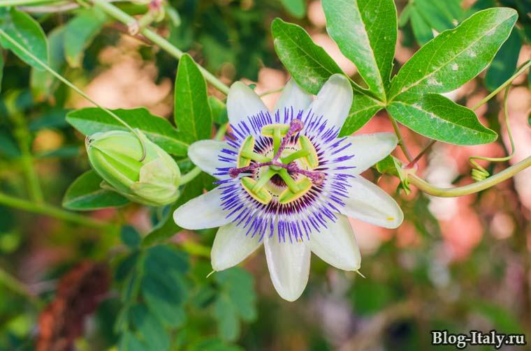 Цветок Страстоцвет,  Пассифлора