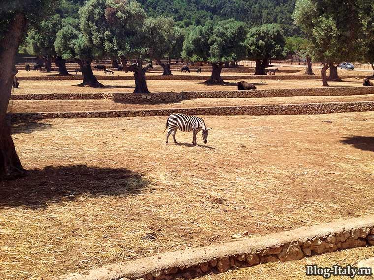 Зебра в зоопарке Фазано