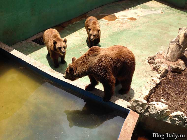 Бурые медведи в зоопарке Фазано