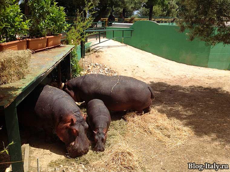 Бегемот в зоопарке Фазано